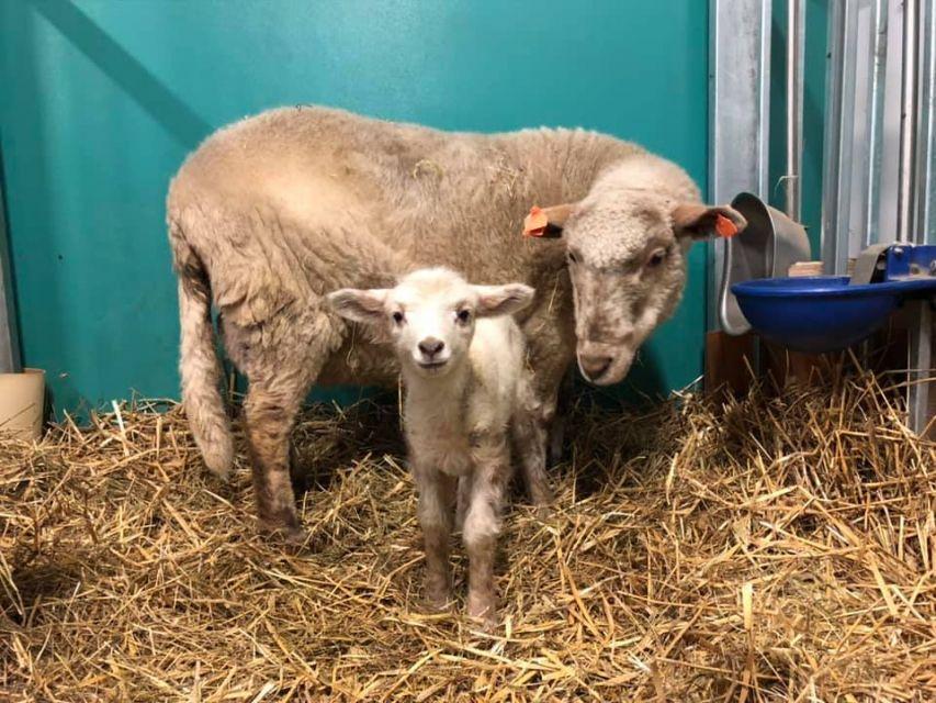 Owce z Centrum Medycyny Doświadczalnej ŚUM honorowymi dawcami krwi - galeria